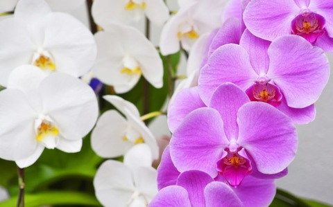Phalaenopsis-aphrodite-810x504