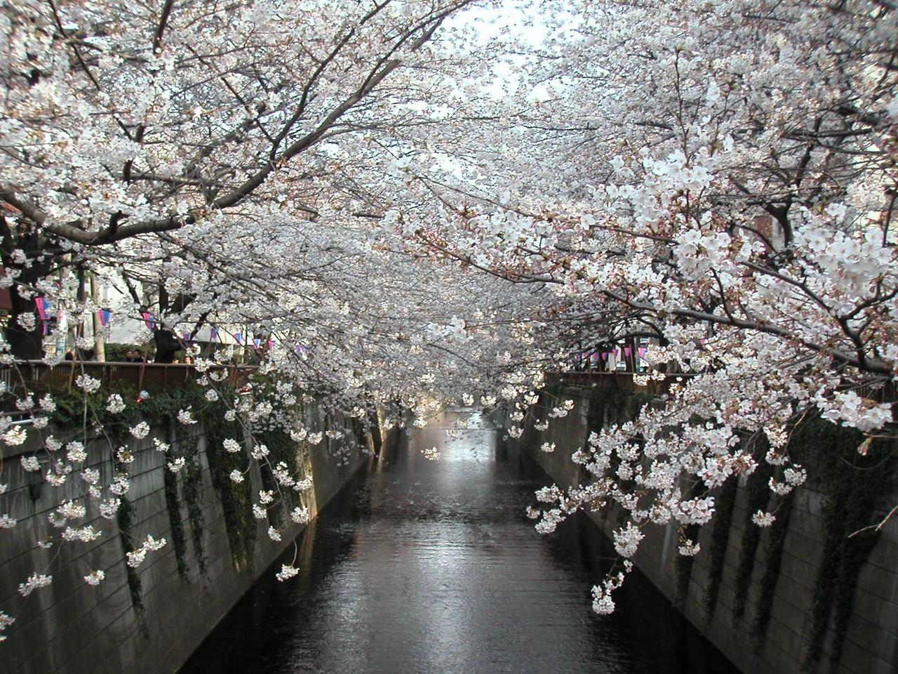 目黒川の桜(2006.03.26)