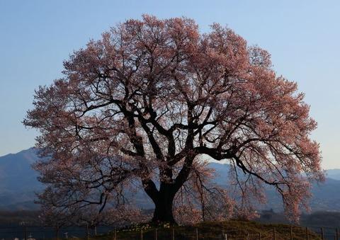 私を魅了する桜の名所。
