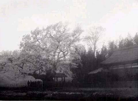 大正後期の神代桜…大正の後期は樹高も13m以上もありました_700