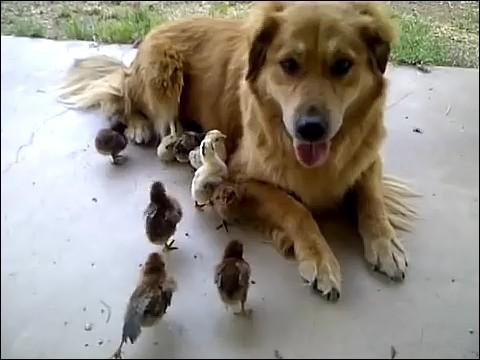 大量のヒヨコに襲われる犬の画像6