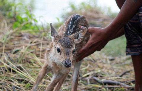濁流に捲込まれた子鹿の助け方がワイルドすぎる少年!の画像(7枚目)