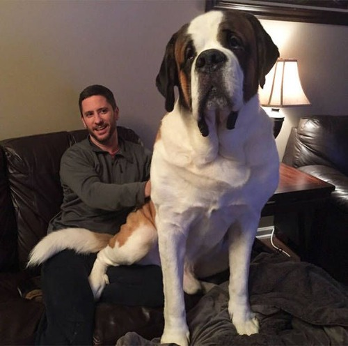 巨大な犬の画像(44枚目)