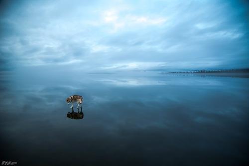 鏡のような湖の上を歩くハスキー犬がカッコイイ!!の画像(3枚目)