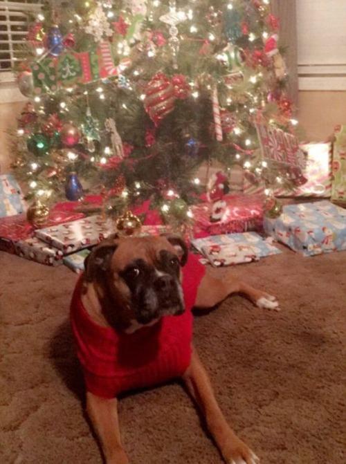 犬とクリスマスの画像(6枚目)