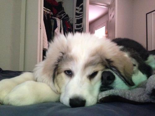 明らかに不機嫌!?凄く不満そうなシベリアンハスキー犬の画像wwの画像(1枚目)