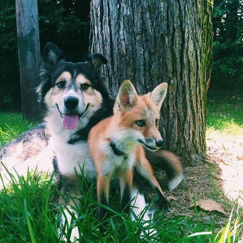 犬とキツネは仲良くなれる!犬とキツネが仲良くしている画像の数々!!の画像(7枚目)