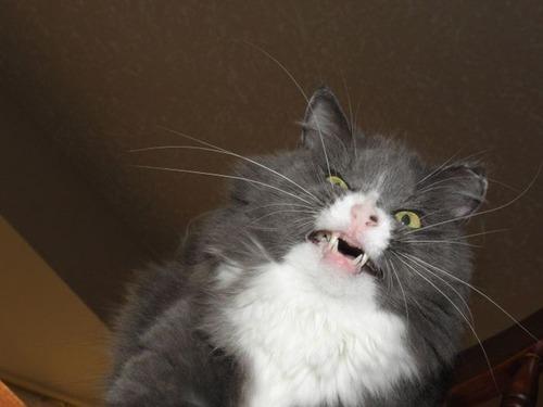 凶悪そうな猫の画像(15枚目)