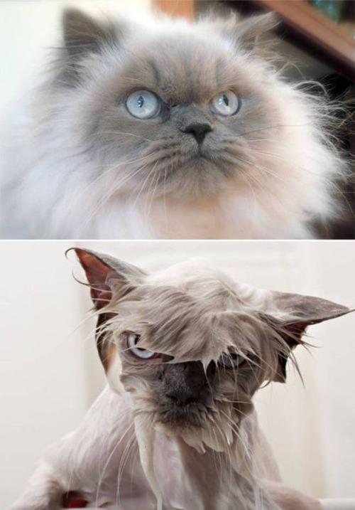 猫ちゃんの濡れる前後の比較の画像(2枚目)