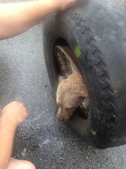 【画像】タイヤのホイールに頭がはまった犬の救助方法がなかなか凄い!!の画像(1枚目)