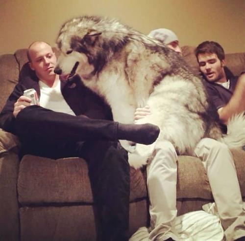 巨大な犬の画像(22枚目)