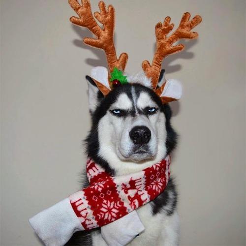 ハスキー犬のクリスマスのコスプレの画像(1枚目)