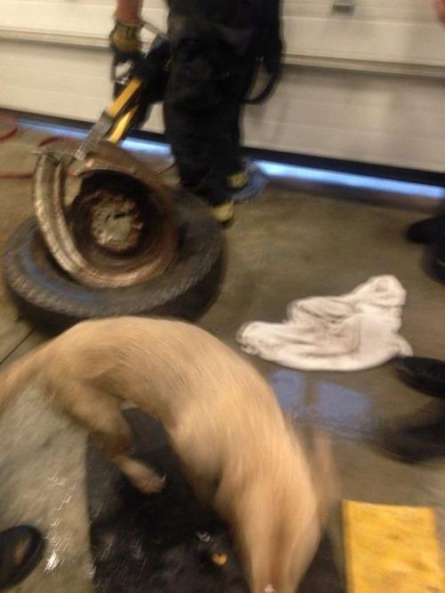 【画像】タイヤのホイールに頭がはまった犬の救助方法がなかなか凄い!!の画像(17枚目)