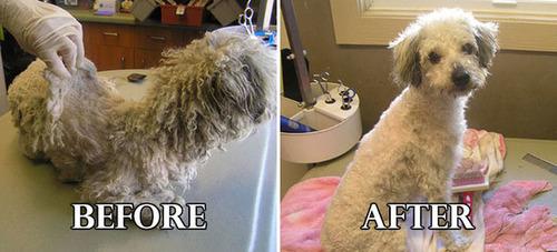 捨て犬の毛をキレイにカットしてるビフォーアフターの画像の数々!!の画像(11枚目)