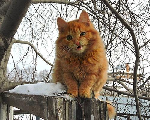 シベリアン猫の画像(1枚目)
