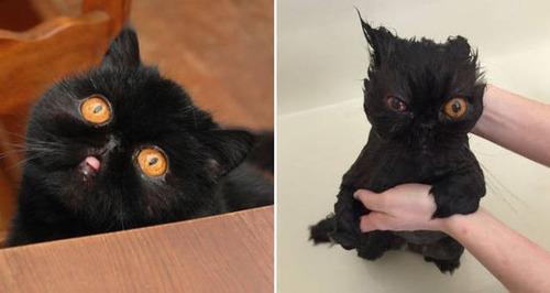 猫ちゃんの濡れる前後の比較の画像(13枚目)
