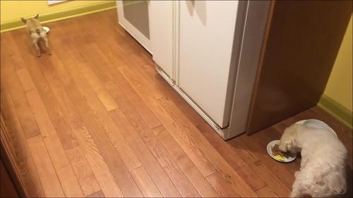 相棒の近くに器を移動して食べる犬3