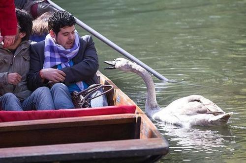 【画像】人に迷惑をかけまくる白鳥がなんとなく可愛いwwwの画像(10枚目)