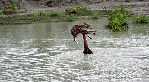 濁流に捲込まれた子鹿の助け方がワイルドすぎる少年!の画像(1枚目)