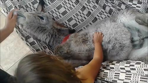 【動画】ハンモックが好き過ぎるロバの子供_000082014