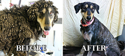 捨て犬の毛をキレイにカットしてるビフォーアフターの画像の数々!!の画像(9枚目)