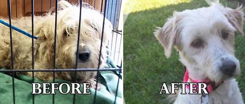 捨て犬の毛をキレイにカットしてるビフォーアフターの画像の数々!!の画像(13枚目)