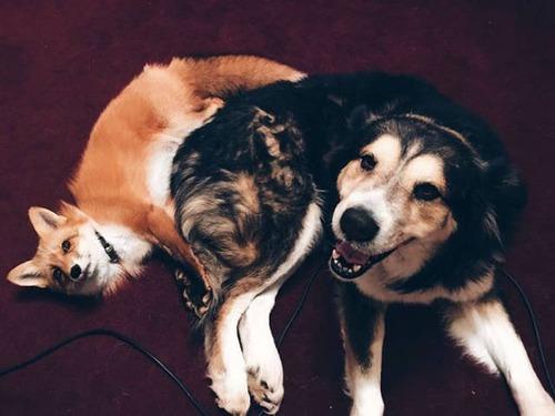 犬とキツネは仲良くなれる!犬とキツネが仲良くしている画像の数々!!の画像(8枚目)