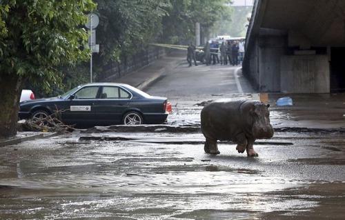 洪水で動物達が大脱走した時の写真の数々wwの画像(13枚目)