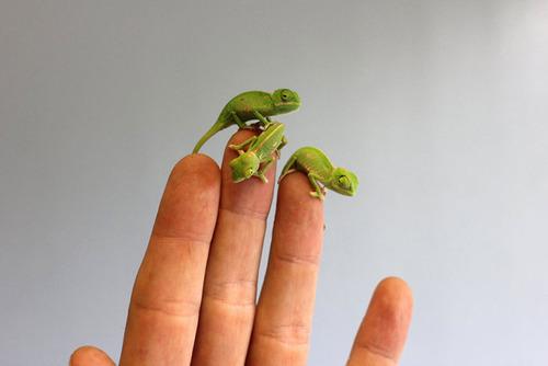 【画像】指より小さい子供のカメレオンがかわい過ぎる!!の画像(8枚目)