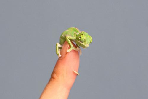 【画像】指より小さい子供のカメレオンがかわい過ぎる!!の画像(6枚目)