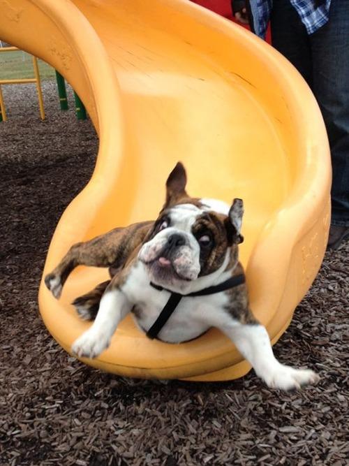 犬はバカ可愛い!!バカだけど憎めない可愛い犬の画像の数々!!の画像(19枚目)