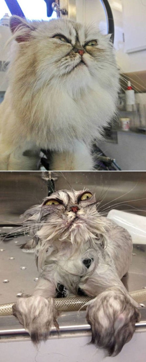 猫ちゃんの濡れる前後の比較の画像(5枚目)