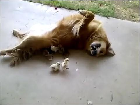 大量のヒヨコに襲われる犬の画像1