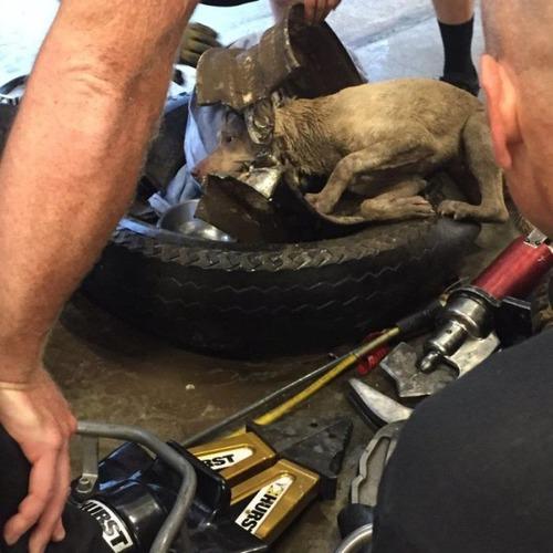 【画像】タイヤのホイールに頭がはまった犬の救助方法がなかなか凄い!!の画像(16枚目)