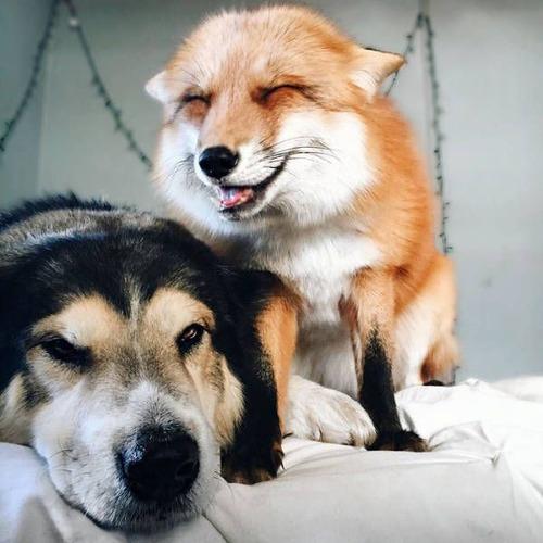 犬とキツネは仲良くなれる!犬とキツネが仲良くしている画像の数々!!の画像(2枚目)