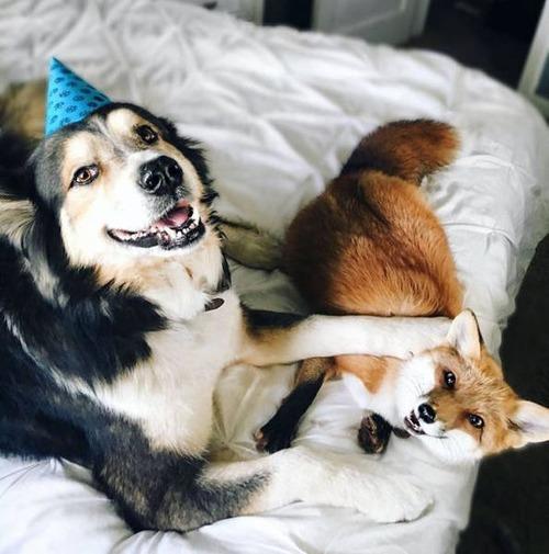 犬とキツネは仲良くなれる!犬とキツネが仲良くしている画像の数々!!の画像(3枚目)