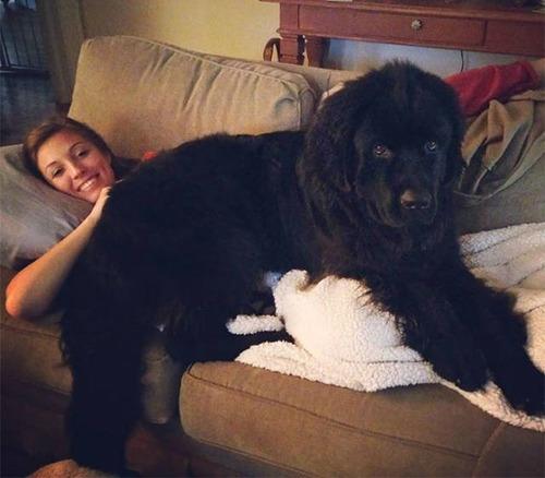 巨大な犬の画像(17枚目)