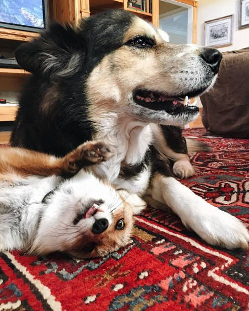 犬とキツネは仲良くなれる!犬とキツネが仲良くしている画像の数々!!の画像(10枚目)