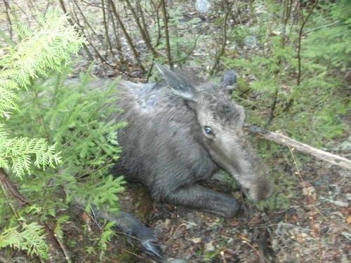 【画像】森の中で保護された巨大な鹿ムースの子供が可愛い!!の画像(1枚目)