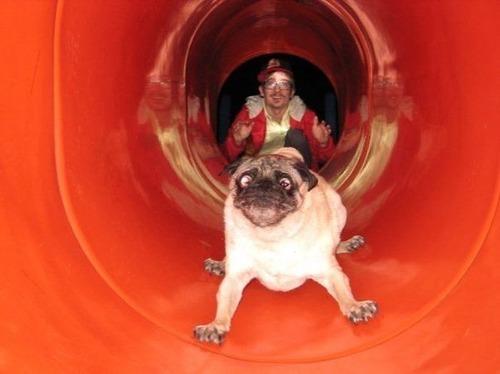 犬はバカ可愛い!!バカだけど憎めない可愛い犬の画像の数々!!の画像(16枚目)