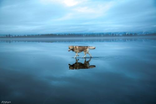 鏡のような湖の上を歩くハスキー犬がカッコイイ!!の画像(2枚目)