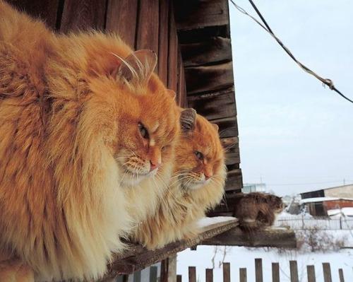 シベリアン猫の画像(4枚目)