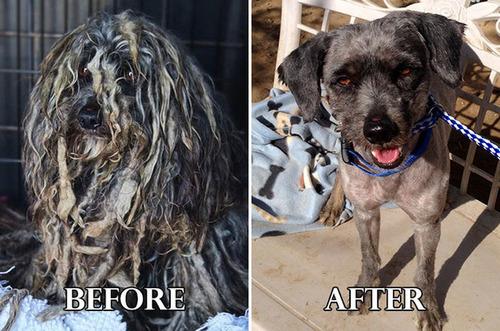捨て犬の毛をキレイにカットしてるビフォーアフターの画像の数々!!の画像(1枚目)