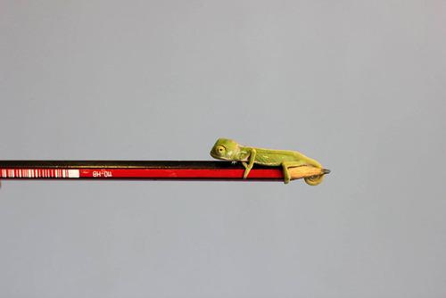 【画像】指より小さい子供のカメレオンがかわい過ぎる!!の画像(9枚目)