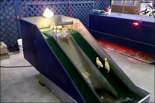 子供のアヒル用の滑り台の画像_000003112