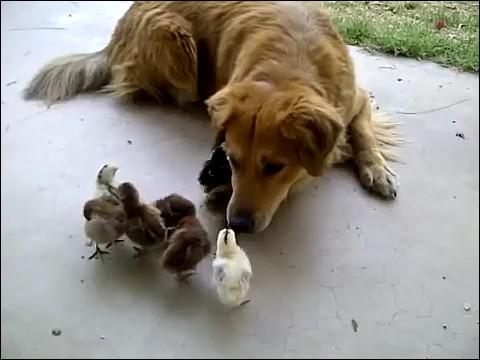 大量のヒヨコに襲われる犬の画像5