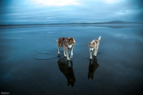 鏡のような湖の上を歩くハスキー犬がカッコイイ!!の画像(5枚目)