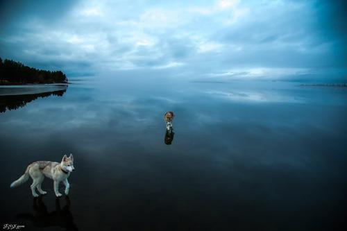 鏡のような湖の上を歩くハスキー犬がカッコイイ!!の画像(4枚目)