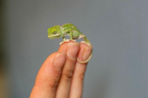 【画像】指より小さい子供のカメレオンがかわい過ぎる!!の画像(4枚目)