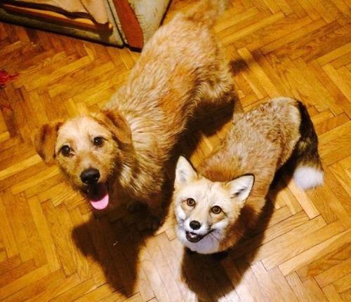 犬と猫と仲良しのキツネの画像(1枚目)